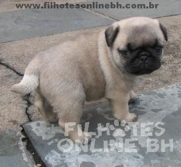 Pug filhotes - Puppies for sale