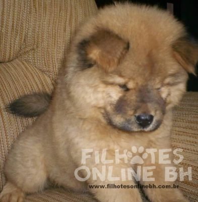 Chow chow - Canil Filhotes On Line BH