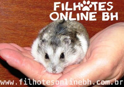 Hamster Chines - filhotes a venda - Puppies for sale