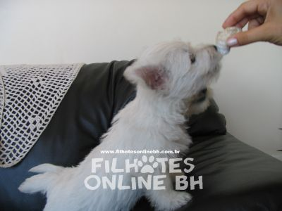 westie - Canil Filhotes On Line BH