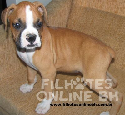 Boxer  - Canil Filhotes On Line BH
