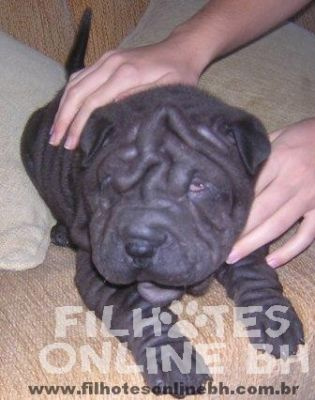 Sharpei a venda - Canil Filhotes On Line BH