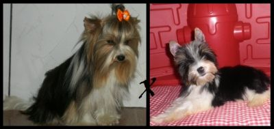 Biewer Terrier - Yorkshire Tricolor