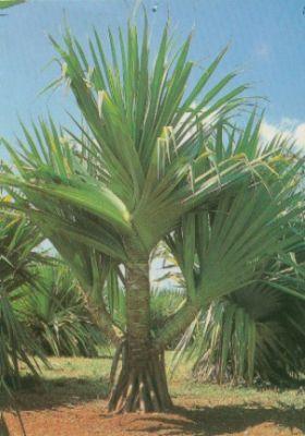 mudas palmeiras vendo troco 1bfd39dff0fbc