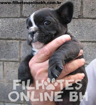 Bulldog Frânces a venda - Canil Filhotes On Line BH