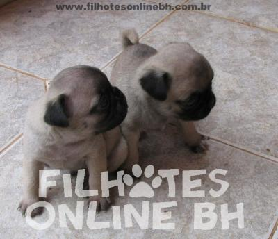 Pug filhotes a venda - Puppies for sale