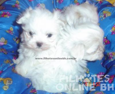 Maltes filhotes a venda - Puppies for sale