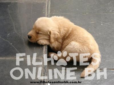 Golden Retriever a venda - Canil Filhotes On Line BH