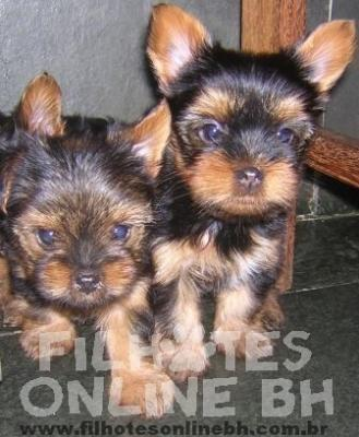 Yorkshire filhotes a venda - Puppies for sale