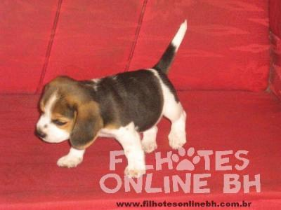Beagle a venda - Canil Filhotes On Line BH