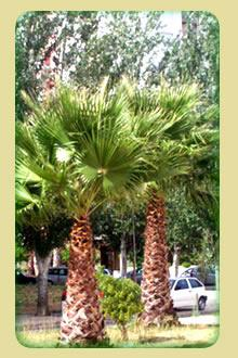 palmeira washingtonia 10,00