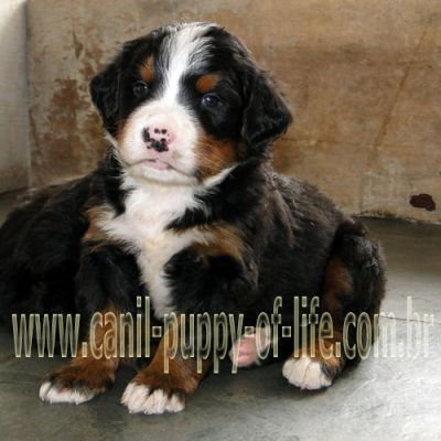 Canil puppy- vd filhotes Bernese Mountain Dog-SP