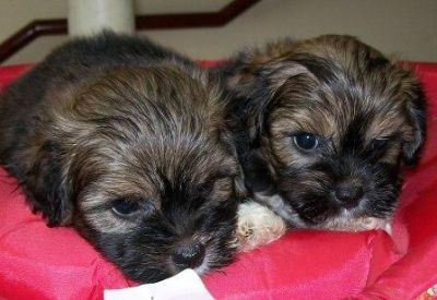 Pet shop, vende, lhasa apso, Porto Alegre,