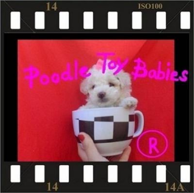 *** ESPECIALIZADO EM POODLES LOVPUPPIES KENNEL POODLE MICRO E POODLE TOY ***