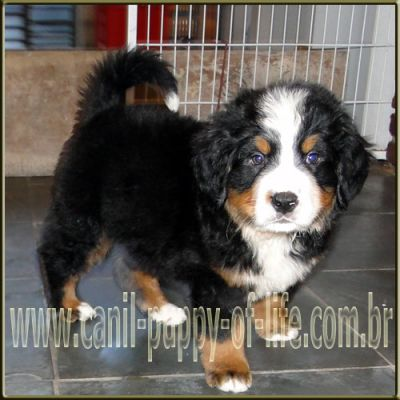 Canil puppy of life- vd filhotes Bernese Mountain Dog-SP