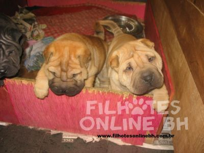 Sharpei a venda - Canil Filhotes On Line