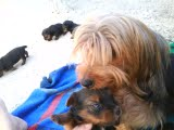 Yorkshire terrier  macho R$500