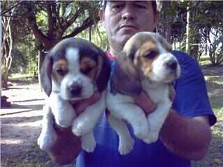 Beagle Mini 13 polegadas