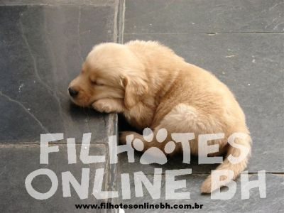 Golden Retriever - Canil Filhotes On Line BH