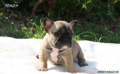 BULLDOG FRANCES FULVO DISPONIVEL