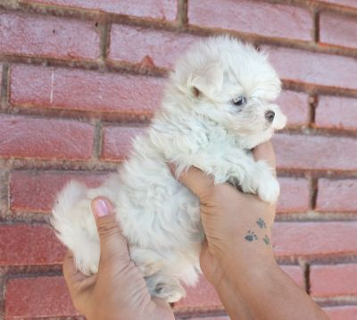 Canil puppy- vd filhotes maltes-SP