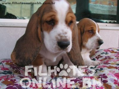 Basset Hound  - Canil Filhotes On Line BH