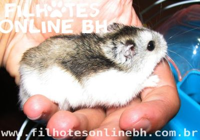 Hamster Chines filhotes a venda - Puppies for sale