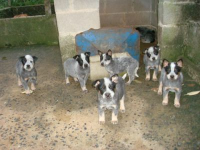 Filhotes de Blue Heeler / Australian Cattle Dog / Border Collie