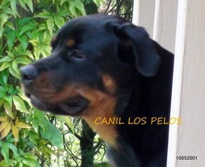 lindos rottweilers