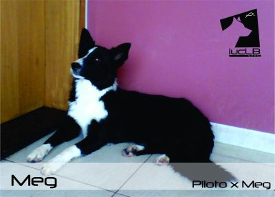 Vendo Filhotes Border Collie
