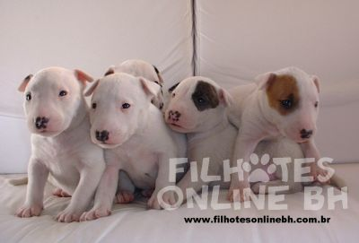 Bull Terrier - Canil Filhotes On Line BH