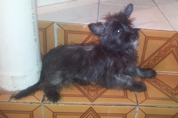 Filhote Mix de scottish terrier com yorkshire terrier