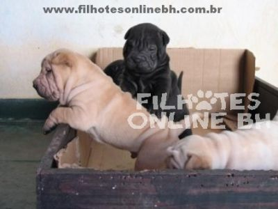 Sharpei - Canil Filhotes On Line BH
