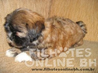Lhasa Apso - Canil Filhotes On Line BH