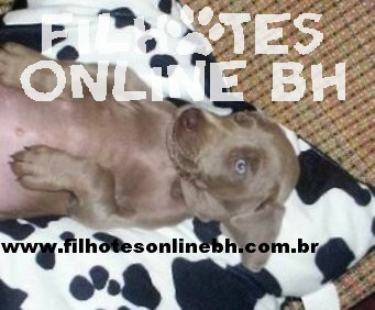 Weimaraner - Canil Filhotes On Line BH