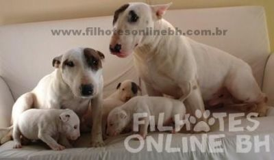 Bull Terrier a venda - Canil Filhotes On Line