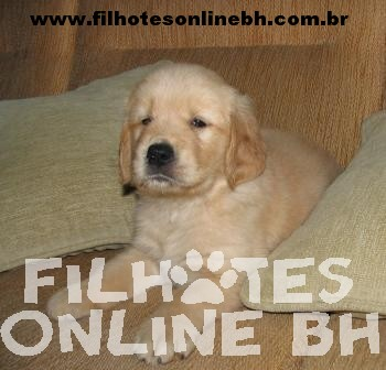 Golden  - Canil Filhotes On Line BH