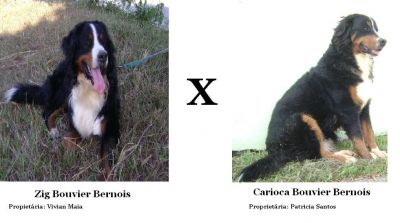 Filhotes de Bernese Mountain Dog