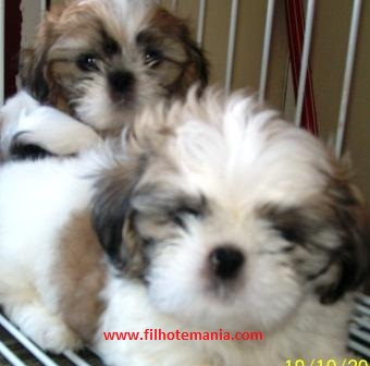 Pet shop, venda, Shih tzu, Porto Alegre,